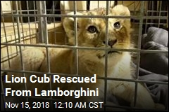 Lion Cub Seized During Traffic Stop