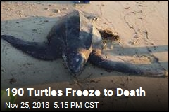 190 Turtles Freeze to Death