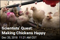 Scientists' Quest: Making Chickens Happy