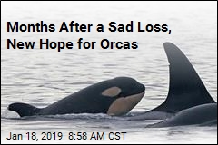 Fresh Face, Fresh Hope for Struggling Orcas