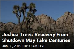 Joshua Trees' Recovery From Shutdown May Take Centuries