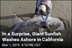 In a Surprise, Rare Sunfish Washes Ashore in California