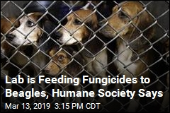 Lab is Feeding Fungicides to Beagles, Humane Society Says
