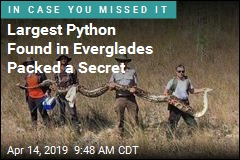 Largest Python Found in Everglades Packed a Secret