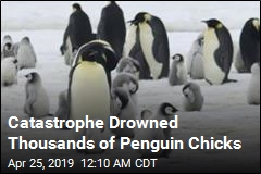 Catastrophe Drowns Thousands of Penguin Chicks
