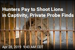Hunters Pay to Shoot Lions in Captivity, Private Probe Finds