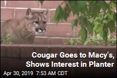 Cougar Goes to Macy's, Shows Interest in Planter