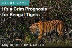 It's a GrimPrognosis for Bengal Tigers