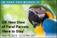 Native Parrots Were Long Gone From US. Now, a New Influx