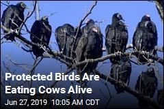 Protected Birds Are Eating Cows Alive