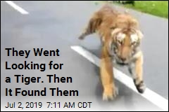 They Went Looking for a Tiger. Then It Found Them
