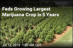 Feds Growing Largest Marijuana Crop in 5 Years