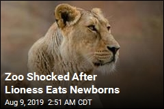 Zoo Shocked After Lioness Eats Newborns