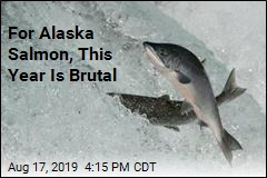 For Alaska Salmon, This Year Is Brutal