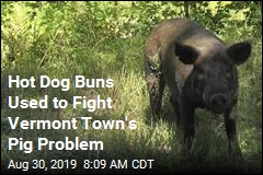 Scores of Escaped Pigs Lured Back With Hot Dog Buns