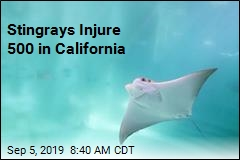 Stingrays Injure 500 in California