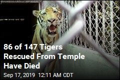 86 of 147 Tigers Rescued From Temple Have Died