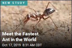 Meet the Fastest Ant in the World