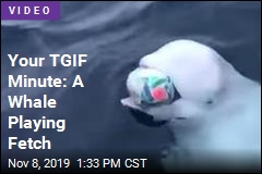 Your TGIF Minute: A Whale Playing Fetch
