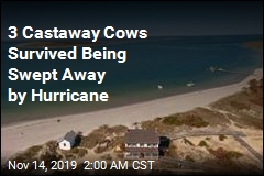 Cows Swept Away by Hurricane Found on Island Miles Away