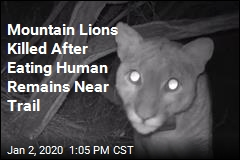 3 Mountain Lions Killed After Eating Human Remains