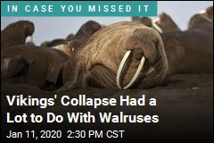 Vikings' Collapse Had a Lot to Do With Walruses