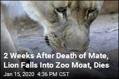 2 Weeks After Death of Mate, Lion Falls Into Zoo Moat, Dies