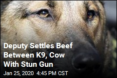 Deputy Settles Beef Between K9, Cow With Stun Gun