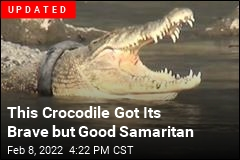 Indonesia Seeks Brave Soul to Free Crocodile From Tire