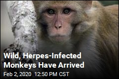 Wild, Herpes-Infected Monkeys Have Arrived