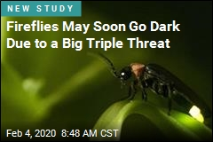 Fireflies May Soon Go Dark Due to a Big Triple Threat