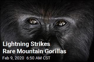 Lightning Strikes Rare Mountain Gorillas