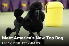 Poodle Is America's New Top Dog