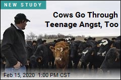 Adolescent Cows Have Mood Swings, Too