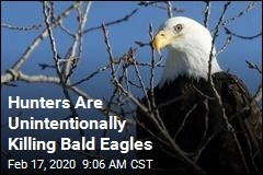 Hunters Are Unintentionally Killing Bald Eagles