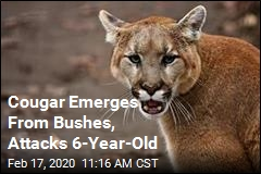 Cougar Emerges From Bushes, Attacks 6-Year-Old