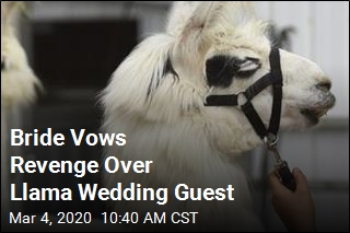 Bride Vows Revenge Over Llama Wedding Guest