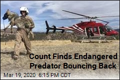 Count Finds Endangered Predator Bouncing Back