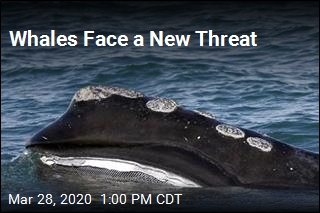 Whales Face a New Threat