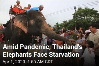 Amid Pandemic, Thailand's Elephants Face Starvation
