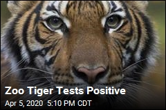 Zoo Tiger Tests Positive