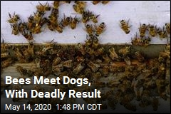 Bees Meet Dogs, With Deadly Result