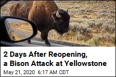 2 Days After Reopening, a Bison Attack at Yellowstone