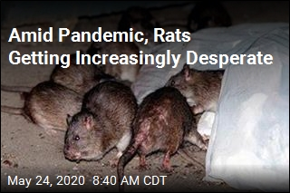 Amid Pandemic, Pity the Lowly Rat