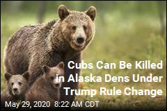Bears Can Be Killed in Alaska Dens Under Trump Rule Change