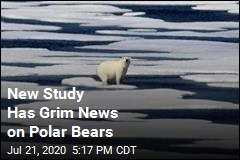 Study: Polar Bears Could Be Almost Extinct by 2100