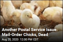New Postal Service Issue: Dead Mail-Order Chicks