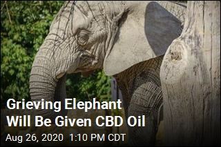 Grieving Elephant Will Be Given CBD Oil