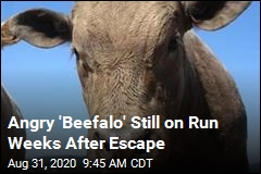 'Beefalo' Remains on the Run Weeks After Escape