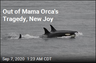Happy News for Orca That Carried Dead Calf 17 Days
